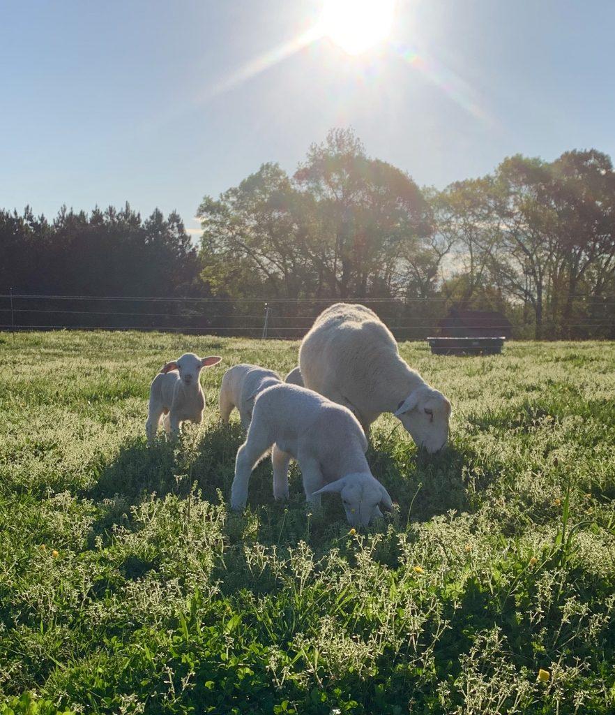 Satterfield farm spotlight featured image