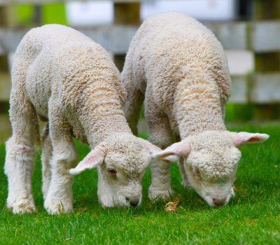 Canva - Little Lambs Grazing