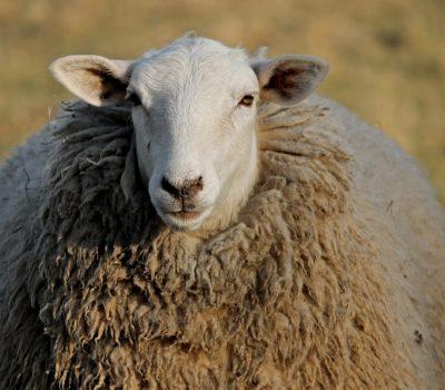 Canva - Portrait of a Sheep