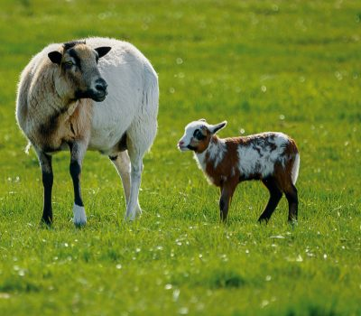 Canva - White Sheep and Brown Lamb in Green Lawn Grasses